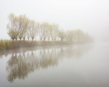 Willows row in the fog