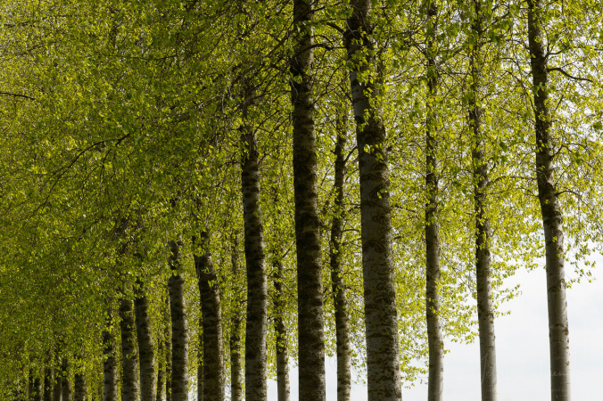 Poplar trees in spring