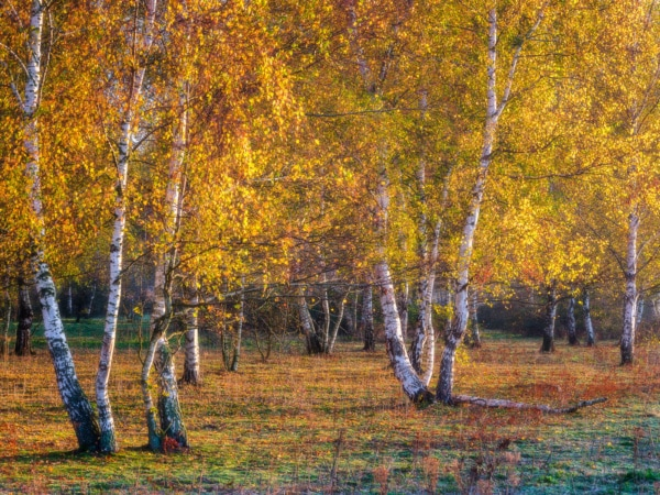 Golden birches